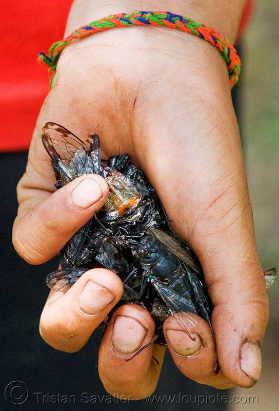 live cicadas in hand, children, cicadas, hands, hintang archaeological park, hintang houamuang, holding, insects, kid, san kong phanh