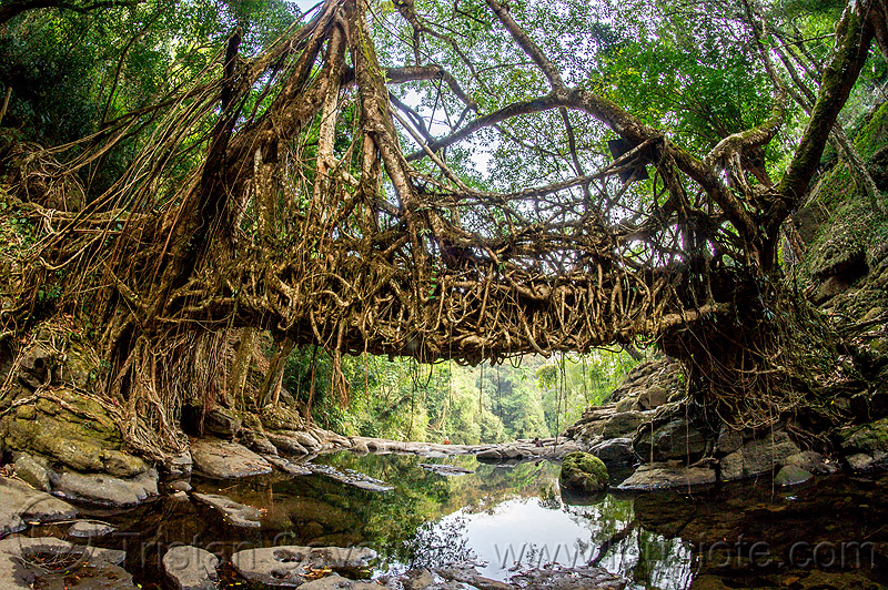 living root bridge in east khasi hills (india), banyan, east khasi hills, ficus elastica, footbridge, india, jingmaham, jungle, living root bridge, mawlynnong, meghalaya, rain forest, river bed, rocks, roots, strangler fig, trees, wahthyllong