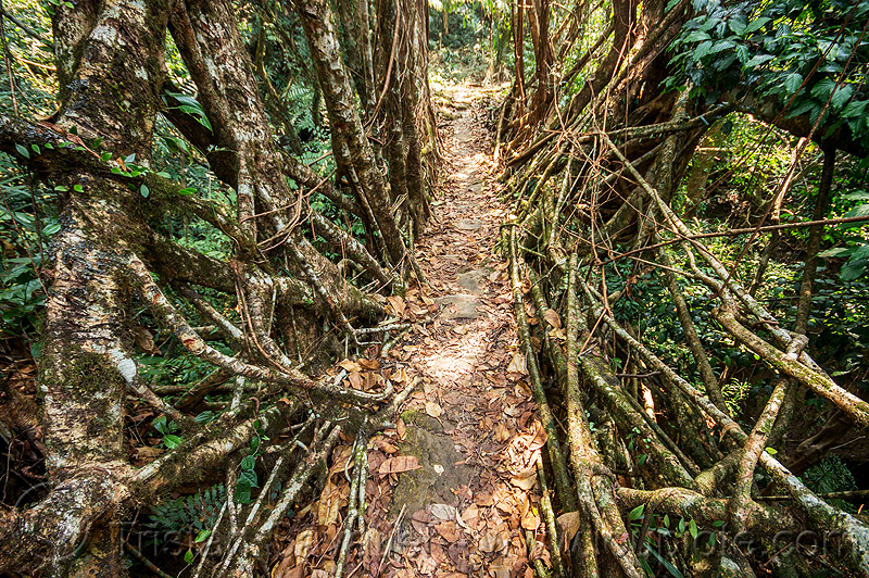 living root bridge in the east khasi hills (india), banyan, east khasi hills, ficus elastica, footbridge, jungle, living root bridge, mawlynnong, meghalaya, rain forest, roots, strangler fig, trail, trees