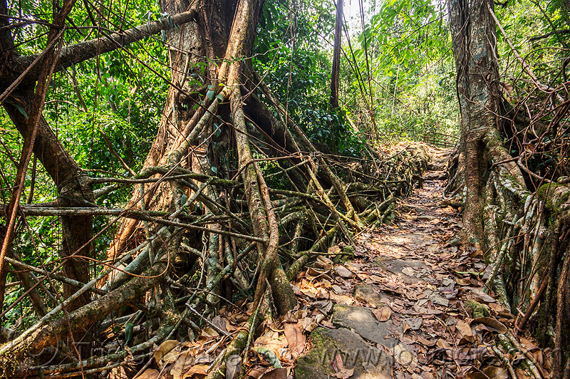 living root bridge in the jungle (india), banyan, east khasi hills, ficus elastica, footbridge, jungle, living root bridge, mawlynnong, meghalaya, rain forest, roots, strangler fig, trail, trees