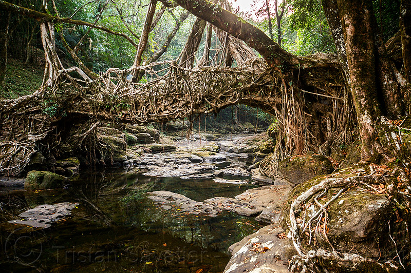 living root bridge near mawlynnong (india), banyan, east khasi hills, ficus elastica, footbridge, india, jingmaham, jungle, living root bridge, mawlynnong, meghalaya, rain forest, river, roots, strangler fig, trees, wahthyllong