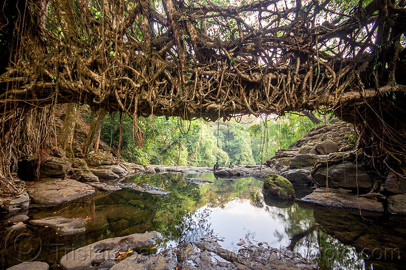 living root bridge over river - mawlynnong (india), banyan, east khasi hills, ficus elastica, footbridge, india, jingmaham, jungle, living root bridge, mawlynnong, meghalaya, rain forest, river, roots, strangler fig, trees, wahthyllong