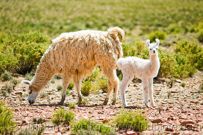 llama cria with mother, altiplano, baby llama, cria, female, grazing, llamas, mother, noroeste argentino, offspring, pampa, quebrada de humahuaca