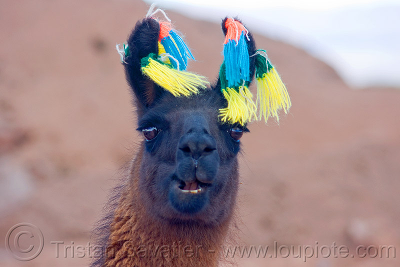 llama with carnival pom-pons, altiplano, andean carnival, brown, colored, decorated, ears, head, llama, noroeste argentino, pampa, pom-poms, pom-pons, pompon, quebrada de humahuaca, wool