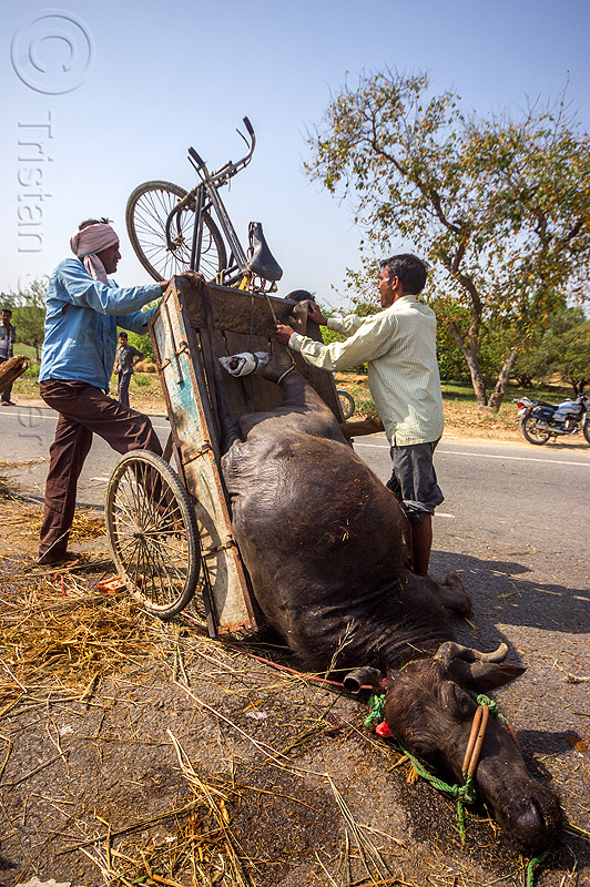 loading up on a tricycle the carcass of a water buffalo killed in a traffic accident (india), cargo tricycle, cow, crash, dead, freight tricycle, hay, injured, lying, men, people, road, rope, truck accident, tying