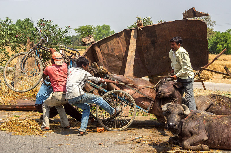 loading up on a tricycle a water buffalo injured in a traffic accident (india), cows, crash, injured, lying, men, road, traffic accident, truck accident, water buffaloes
