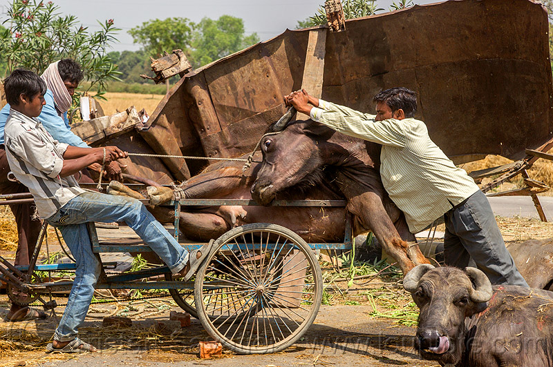 loading up on a tricycle a water buffalo injured in a traffic accident (india), cargo tricycle, cows, crash, freight tricycle, hay, lying, men, people, road, rope, truck accident, tying, water buffaloes