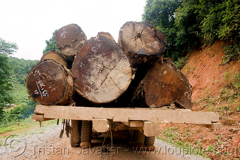 logging truck with large tree logs (laos), convoy, deforestation, dirt road, laos, log truck, logging trucks, lorry, timber, tree logging, tree logs, trees, unpaved, wood