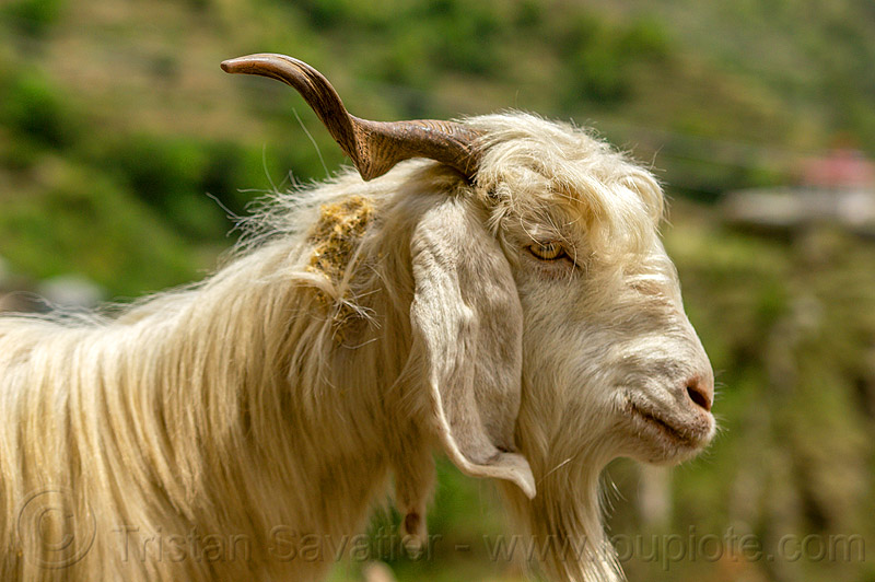 long-haired goat with goatee, capra aegagrus hircus, changthangi, goatee, herd, pashmina, wild goat, wildlife