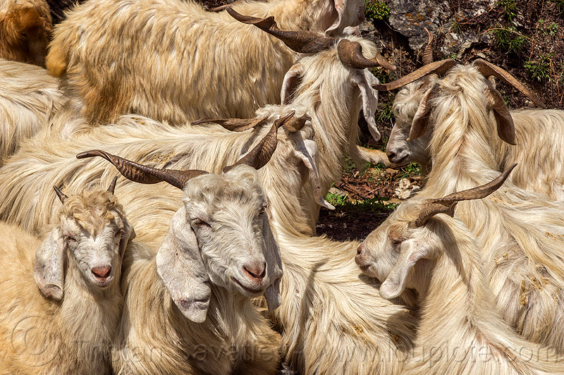 long-haired himalayan goats - wild, capra aegagrus hircus, changthangi, herd, india, pashmina, wild goats, wildlife