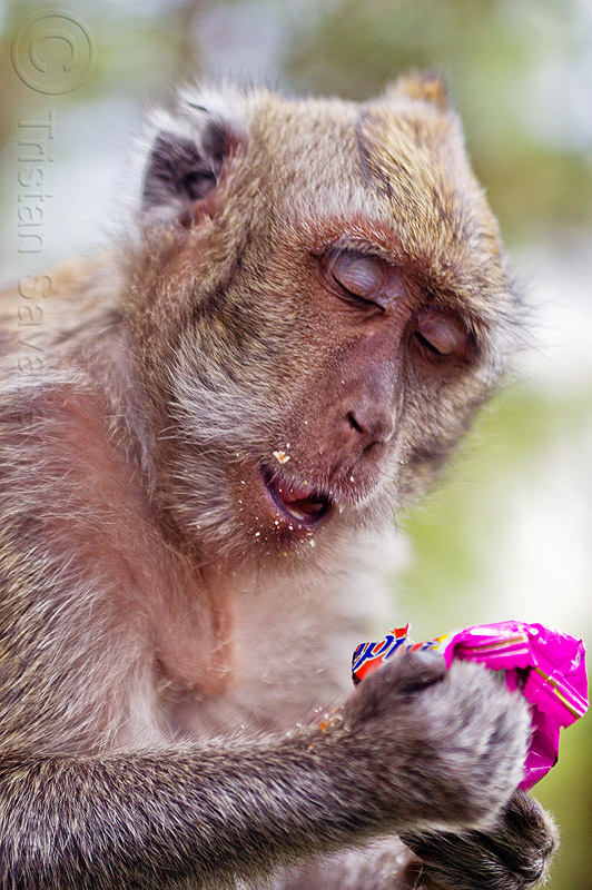 macaque monkey eating junk food, crab-eating macaque, crumbs, indonesia, junk food, macaca fascicularis, macaque monkey, plastic bag, plastic packaging, plastic trash, single-use plastics, wild, wildlife