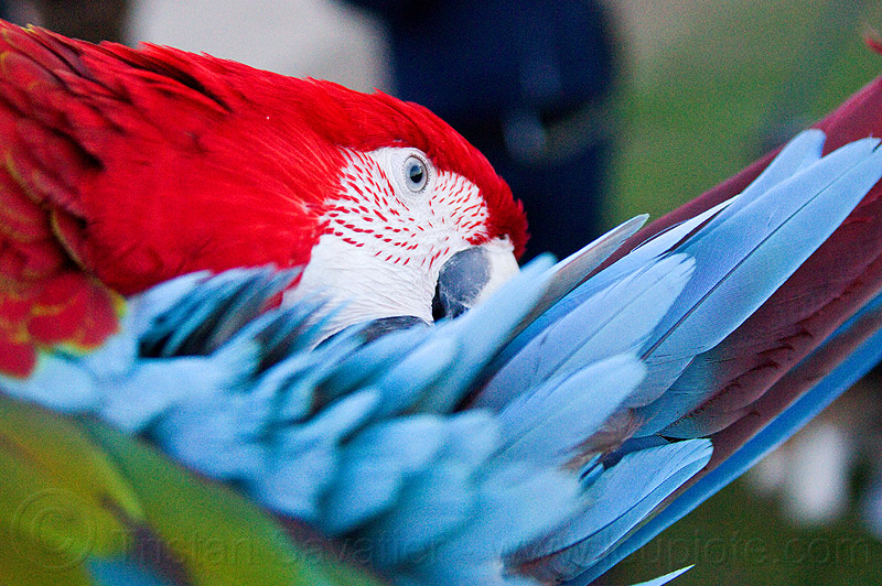 macaw parrot bird grooming, ara chloropterus, ara macao, beak, dolores park, feathers, green-winged macaw, head, psittacidae, red, red-and-green macaw, scarlet macaw, wildlife