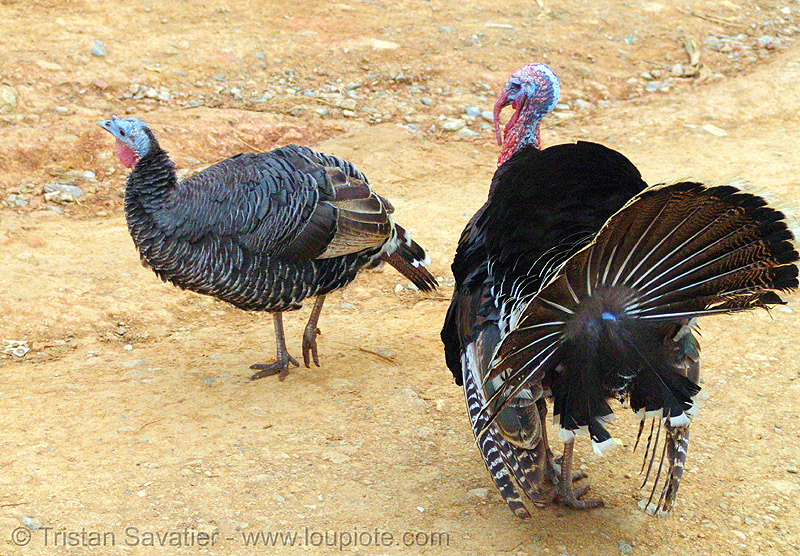 male turkey bird trying to impress female - courtship - vietnam, birds, bảo lạc, caruncle, domestic turkey, galliformes, hen, meleagris, meleagris gallopavo, poultry, red, tom turkey, turkey animal, wattle