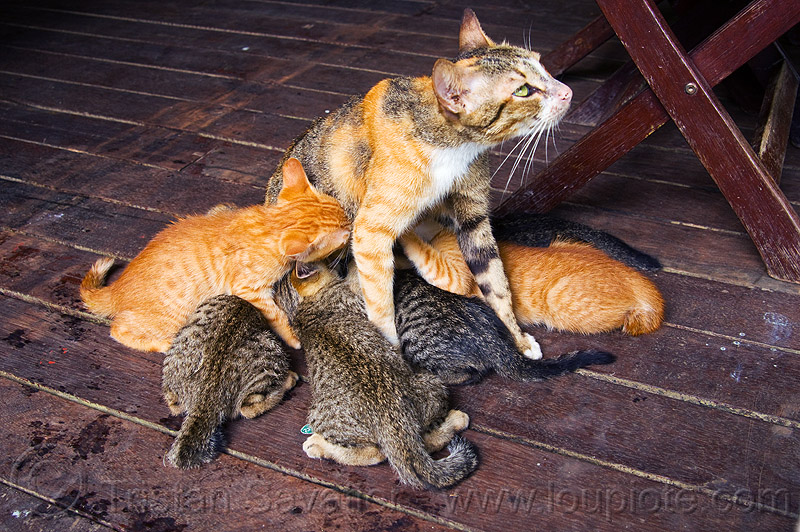 nursing kittens, breastfeeding, cats, female, floor, kittens, mackerel tabby, mother, nurning, suckling
