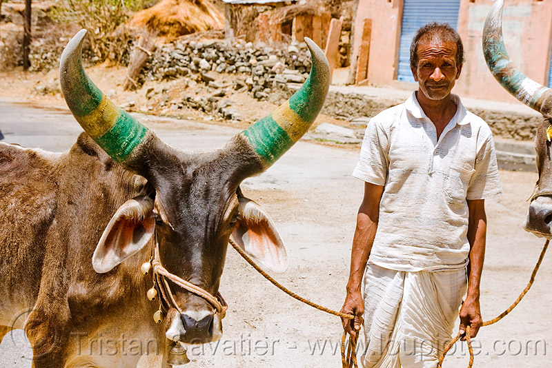 man and cow with big horns - ox - kankrej cattle (india), cows, farmer, horns, kankrej, man, oxes, painted, road, ropes, udaipur