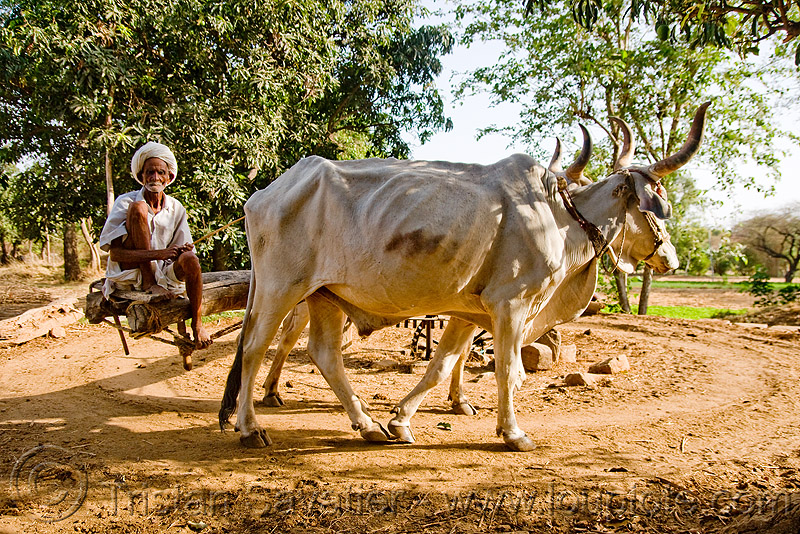 man and oxes operating a water well - kankrej cattle (india), bucket chain, cow, old man, people, well pump, working animals
