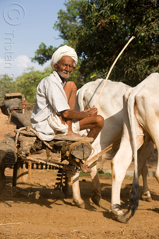 man and oxes operating a water well - near udaipur (india), bucket chain, cows, old man, people, well pump, working animals