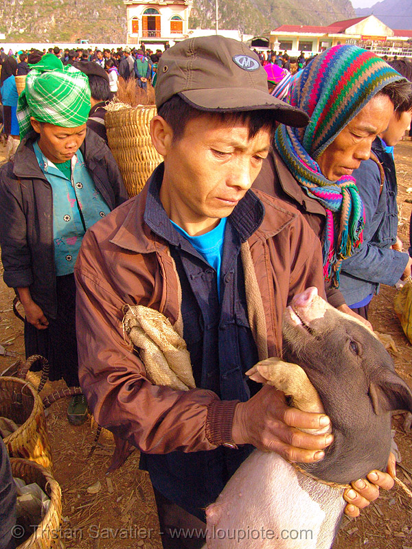 man checking piglet at the market - vietnam, crowd, ha giang province, hill tribes, hà giang province, indigenous, man, market, mèo vạc, pig, piglet, small