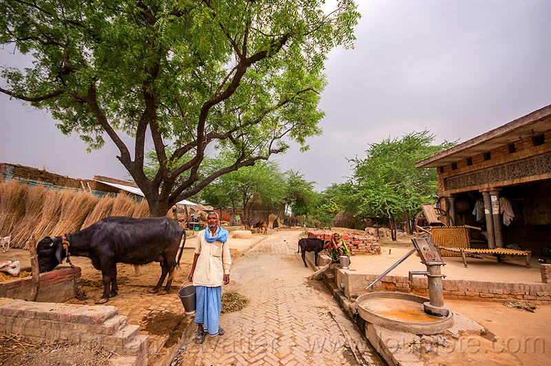 man feeding his water buffalo in indian village, brick pavement, bucket, cow, hand pump, khoaja phool, street, tree, village, water buffalo, water pump, woman, खोअजा फूल