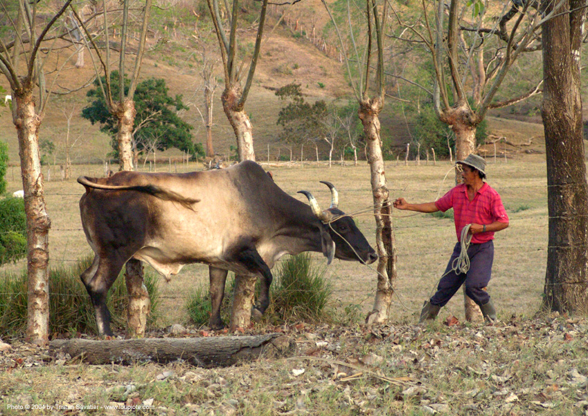 man handling his ox (costa rica), costa rica, cow, man, ox, rope