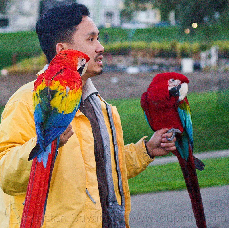 man holding his two macaw parrots - scarlet macaw and red-and-green macaw, ara macao, birds, dolores park, green-winged macaw, hands, people, psittacidae