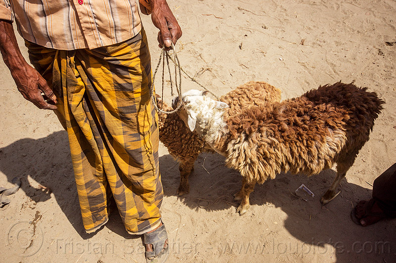 man with brown sheep (india), cattle market, farmer, leash, ropes, sheep, west bengal