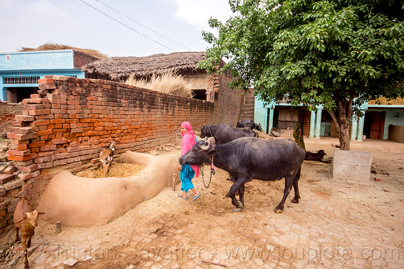 mangers made of dry mud in indian village, adobe floor, brick wall, cows, earthen floor, goats, khoaja phool, manger, sari, village, water buffaloes, woman, खोअजा फूल