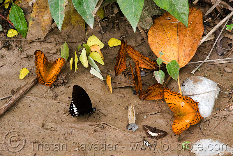 many butterflies (laos), butterflies, insects, wildlife