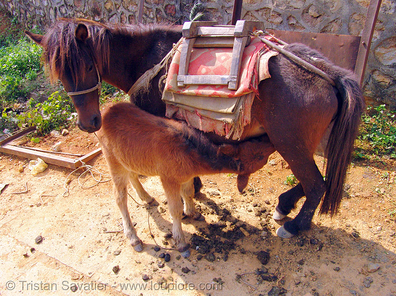 mare and foal - baby horse nursing (vietnam), baby horse, foal, horse riding, horseback riding, mare, mother, nursing, pack animal, pack horse, suckling, vietnam, vietnamese hmong horse, working animal