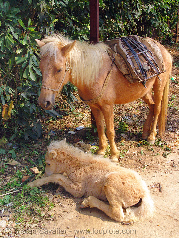 mare and her foal - baby horse (vietnam), baby horse, foal, horses, mare, pack animal, pack horse, vietnam, vietnamese hmong horse, working animal