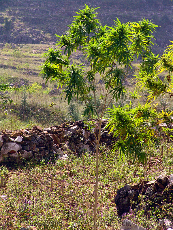 marijuana - cannabis tree, cannabis sativa, ganja, indian hemp, leaves, mèo vạc, plant, vietnam, weed, wild cannabis