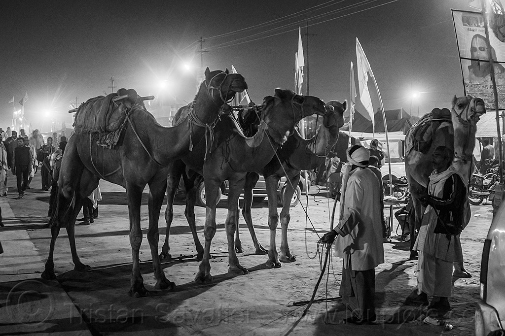 men with four camels on street at night (india), double hump camels, hindu, hinduism, kumbh mela, kumbha mela, maha kumbh, maha kumbh mela, people