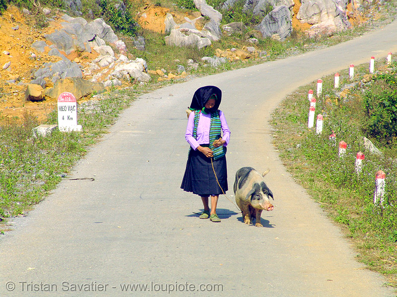 miao tribe woman with her pig on the road - vietnam, asian woman, hill tribes, indigenous, mature woman, miao tribe, mèo vạc, old, pig