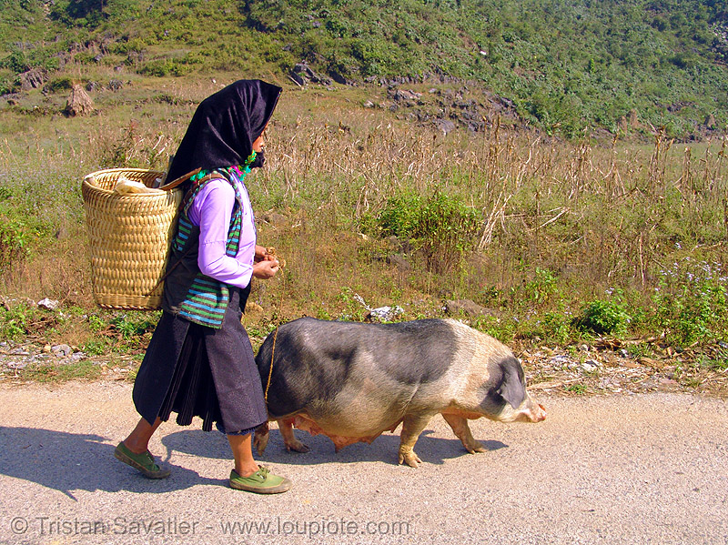 miao tribe woman with her pig on the road - vietnam, asian woman, hill tribes, indigenous, mature woman, miao tribe, mèo vạc, old, pig, vietnam