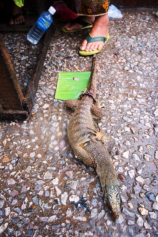 monitor lizard (live) on the market, giant lizard, laos, luang prabang, monitor lizard, varanidae, varanus