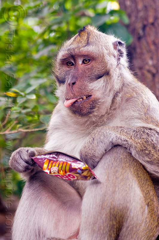 monkey and junkfood, crab-eating macaque, java, junk food, macaca fascicularis, macaque monkey, plastic bag, plastic packaging, sticking out tongue, sticking tongue out, wild, wildlife