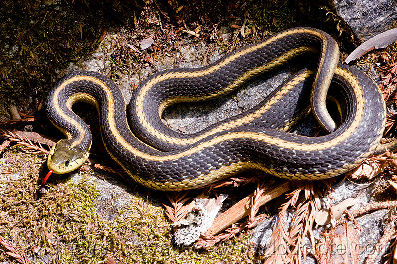 mountain garter snake - thamnophis elegans elegans, big sur, black, coiled, colubrid, curled, lateralis, mountain garter snake, pine ridge trail, reptile, sticking out tongue, sticking tongue out, striped, strips, terrestris, thamnophis elegans elegans, trekking, vantana wilderness, western terrestrial garter snake, wildlife, yellow