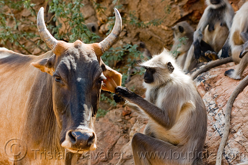mutualism - langur monkey curing cow's ear (india), black-face monkey, cow, ears, gray langur, mutualism, semnopithecus entellus, symbiosis, wildlife