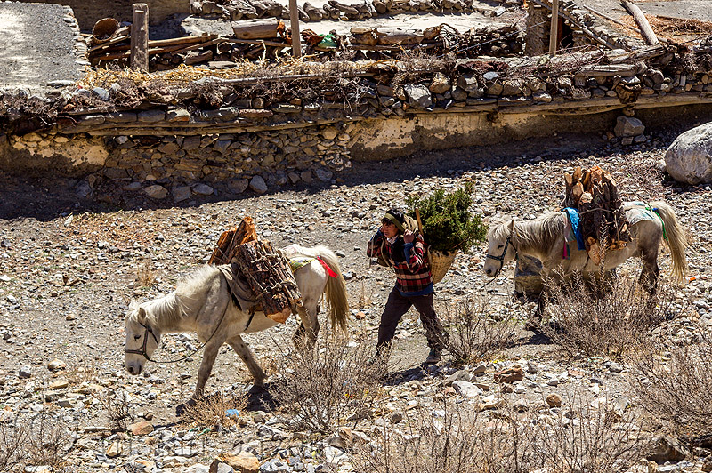 nepali villager with horses carrying wood (nepal), annapurnas, carrying, kali gandaki valley, man, pack animal, pack horses, ponies, wood, working horses