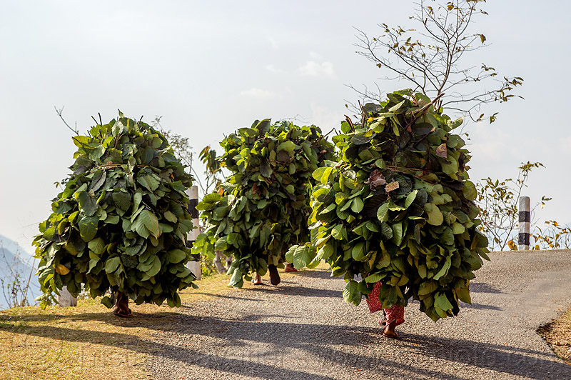 nepali women carrying bundles of leaves - walking on road (nepal), carrying, leaves, nuwakot, road, walking, women