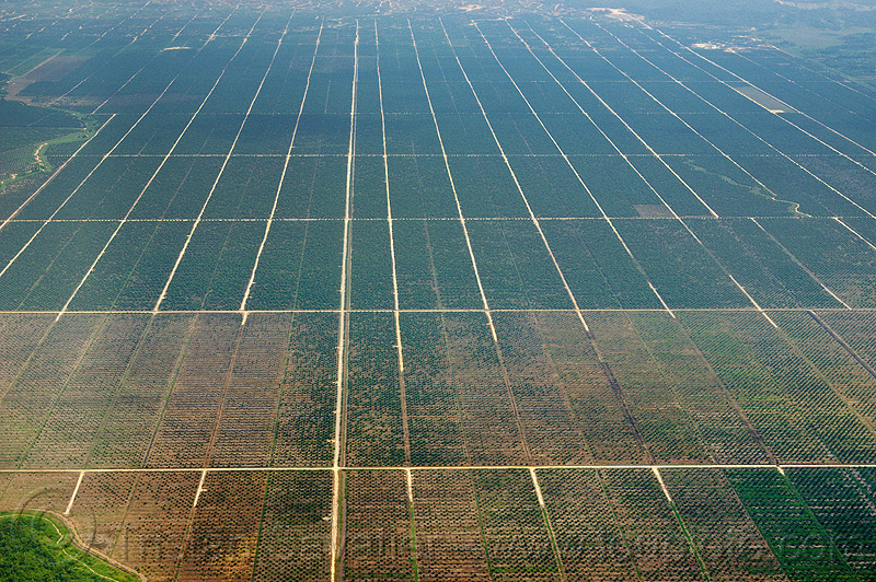 oil palm plantation, aerial photo, agroindustry, borneo, farming, industrial agriculture, malaysia, monoculture, oil palm, plantation