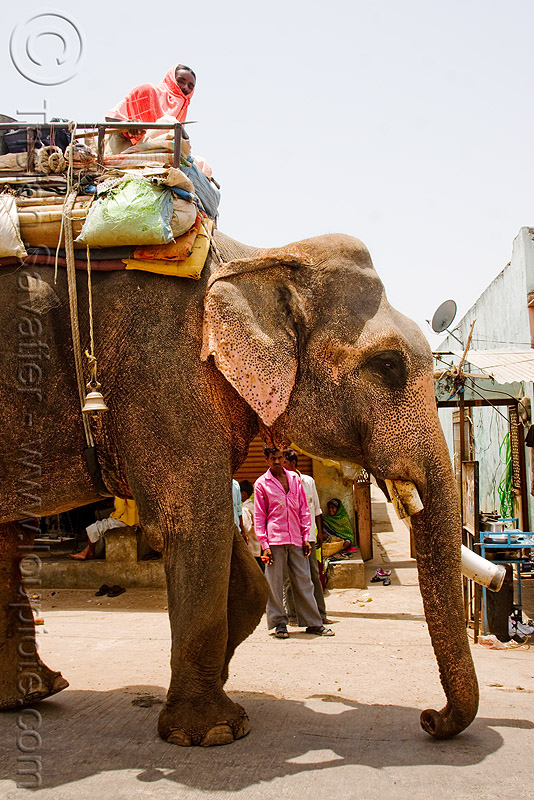 old elephant in the street (india), asian elephant, elephant riding, elephant tusks, mahout, man, street