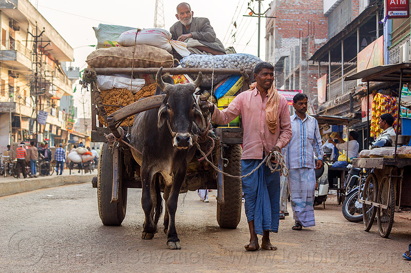 ox cart transporting heavy load (india), bags, cargo, cow, freight, heavy, load, men, ox cart, pulling, rope, sacks, sitting, standing, street, transport, transporting, varanasi
