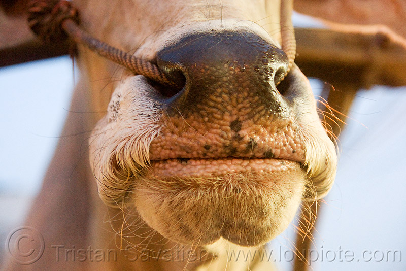 ox nose with rope in nostrils (india), cow nose, cow snout, delhi, india, kankrej cow, ox