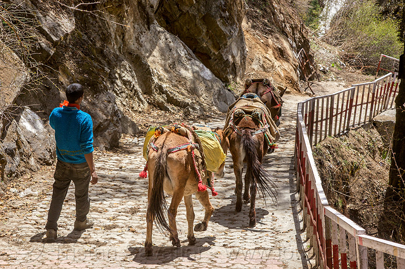 pack mules on the yamunotri trail (india), caravan, men, pack animals, pack horses, treking, working animals, yamunotri trail, yamunotri trek