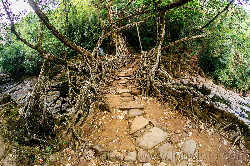 path on living root bridge - mawlynnong (india), banyan, east khasi hills, ficus elastica, footbridge, jingmaham, jungle, living root bridge, mawlynnong, meghalaya, rain forest, roots, stones, strangler fig, trail, trees, wahthyllong