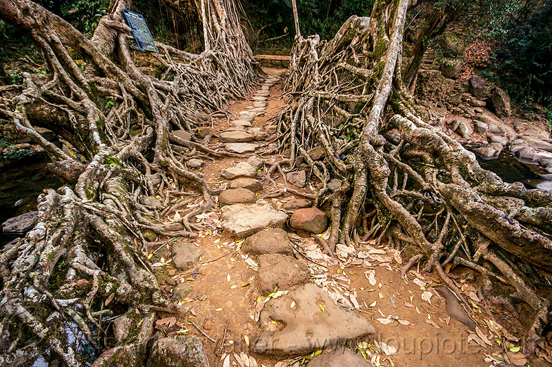 paved trail over living root bridge - mawlynnong (india), banyan, east khasi hills, ficus elastica, footbridge, jingmaham, jungle, living root bridge, mawlynnong, meghalaya, rain forest, roots, stones, strangler fig, trail, trees, wahthyllong