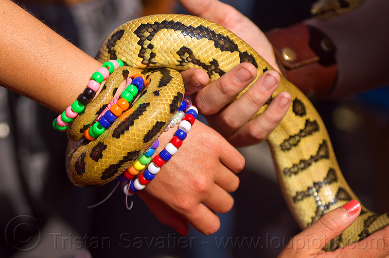 pet python snake coiling on arm kandi bracelets, arm, beads bracelets, coiled, coiling, gay pride festival, hands, holding, kandi bracelets, pet snake, python snake, reptile, wrist