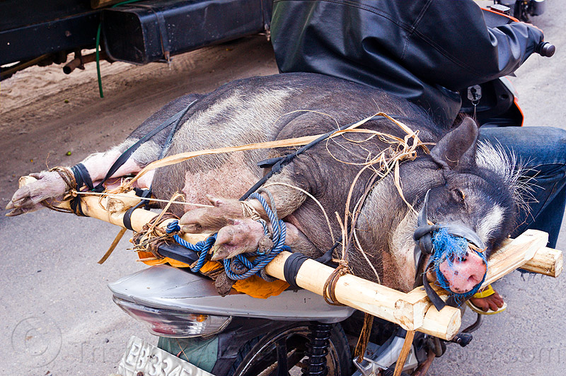 pig on motorbike, big, crate, fat, flores, freight, load, lying, lying down, motorcycle, people, riding, road, rope, sleeping, tied-up, transport, wood crate