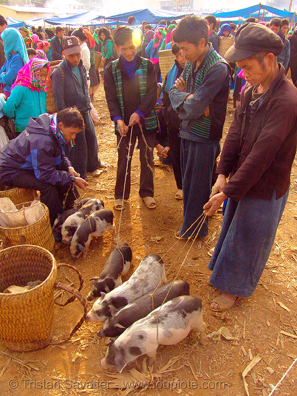 piglets at the market - vietnam, hill tribes, indigenous, men, mèo vạc, people, pigs, small